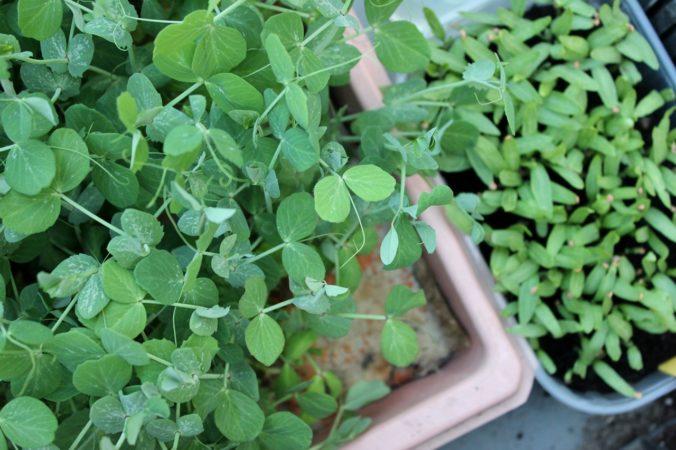 Mini Erbsenpflanzen als Microgreens für Salate, Smoothies und mehr
