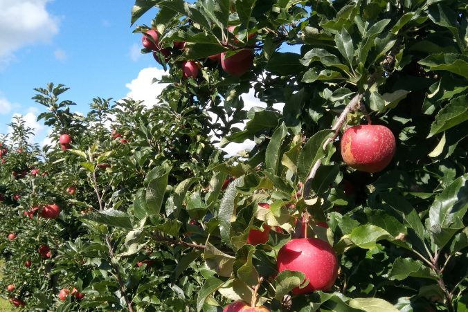 Leckere Äpfel vom Bodensee